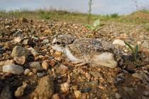 Mládě kulíka říčního. Tento druh hnízdí na Černovické terase.