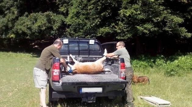 OSM MRTVÝCH ZVÍŘAT. Návštěvníci obory Holedná našli dva zabité daňky. Dalších šest si pytláci stihli odvézt.