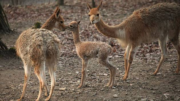 V brněnské zoo se přesně na Štědrý den narodil samec lamy vikuně. Mláděti se daří dobře, lidé jej mohou vidět ve výběhu.