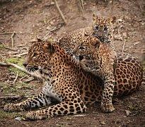 Aruni a Ashanga. Jména, která dostala mláďata levhartů v brněnské zoo.