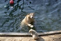 Lední medvědice Cora a její mládě v brněnské zoo.
