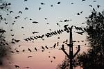 SLET HAVRANŮ. Každý rok se hemží černí opeřenci do okolí Brna, letos v listopadu je fotograf zvěčnil u Židlochovic na Brněnsku.