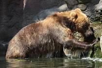 Samice medvěda kamčatského Irina v brněnské zoo.