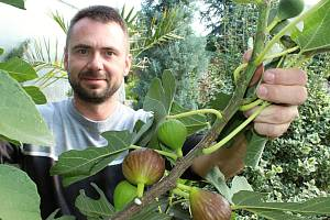 V Přibicích sklízejí exotické fíky. Miroslav Effenberger nasbírá cca deset kilogramů za čtyři dny
