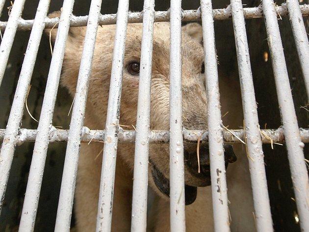 Ošetřovatelé brněnské zoologické zahrady se ve čtvrtek rozloučili s lední medvědicí Kometou.