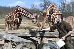 Komentované krmení žiraf síťovaných v brněnské zoologické zahradě.
