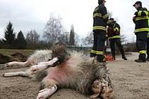 Myslivci a hasiči vytáhli ze Svitavy utonulého kance.
