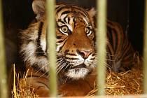 Samec tygra Dandys.