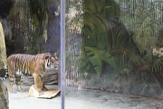 Stovky lidí se rozhodli strávit Štědrý den ve společnosti zvířat v brněnské zoo. Dívali se, jak tygři dostali vánoční stromeček i krabici s překvapením. Lachtan si dal ryby. Lidé si vánoční atmosféru užili třeba díky perníčkům.