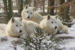 Vlk arktický v brněnské zoo.