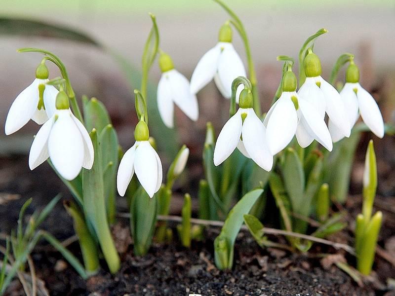 Ačkoli má ještě přijít ochlazení, v brněnských parcích a zahradách už vykvetly první jarní květiny. Například sněženky.
