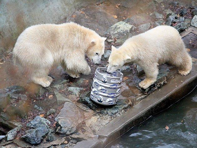 Lední medvědi Kometa a Nanuk.