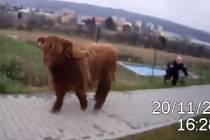 Strážníci chytali v Brně bizona.