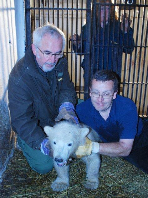 Lední medvěd z brněnské zoo.