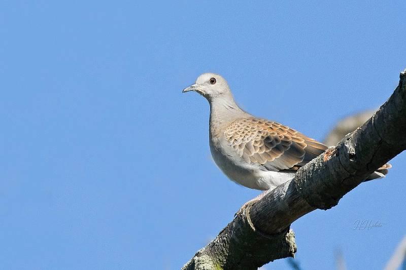 Zachycení ptáků v přírodě je pokaždé plné překvapení. Na snímku je hrdlička divoká.