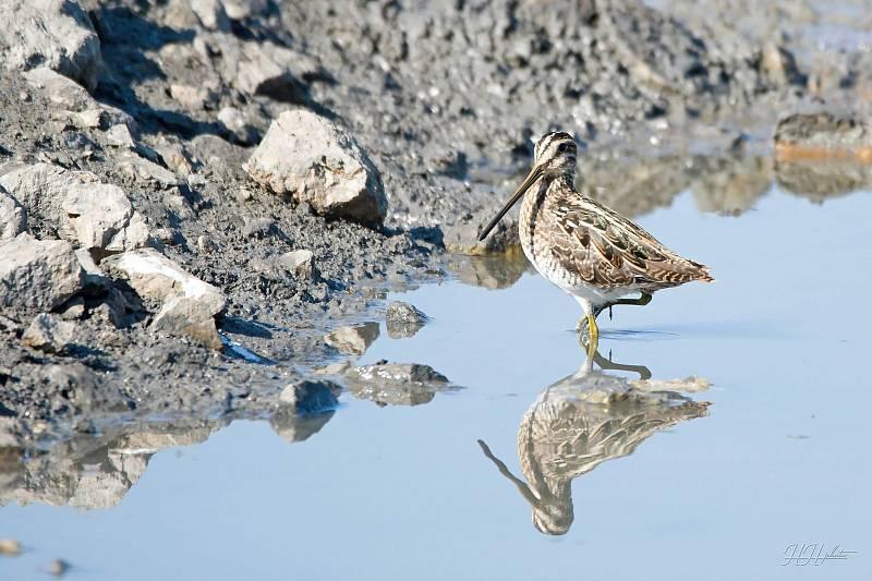 Zachycení ptáků v přírodě je pokaždé plné překvapení. Na snímku je bekasina otavní.