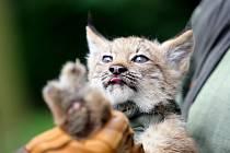 Veterinář ve čtvrtek poprvé prohlédl mláďata rysa kanadského v brněnské zoo.