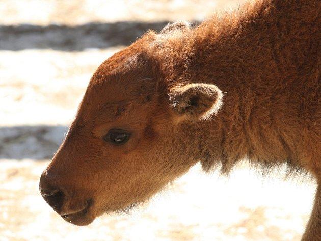 V brněnské zoo se předevčírem narodilo už druhé mládě bizona (vlevo, nahoře a vpravo). Před dvěma měsíci přišel na svět sameček. Jestli má nového kamaráda či kamarádku, chovatelé ještě nevědí.