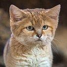 Kočka pouštní v brněnské zoo.