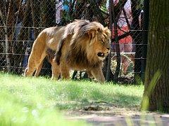 Slavnostní otevření expozice lvů konžských v brněnské zoo.
