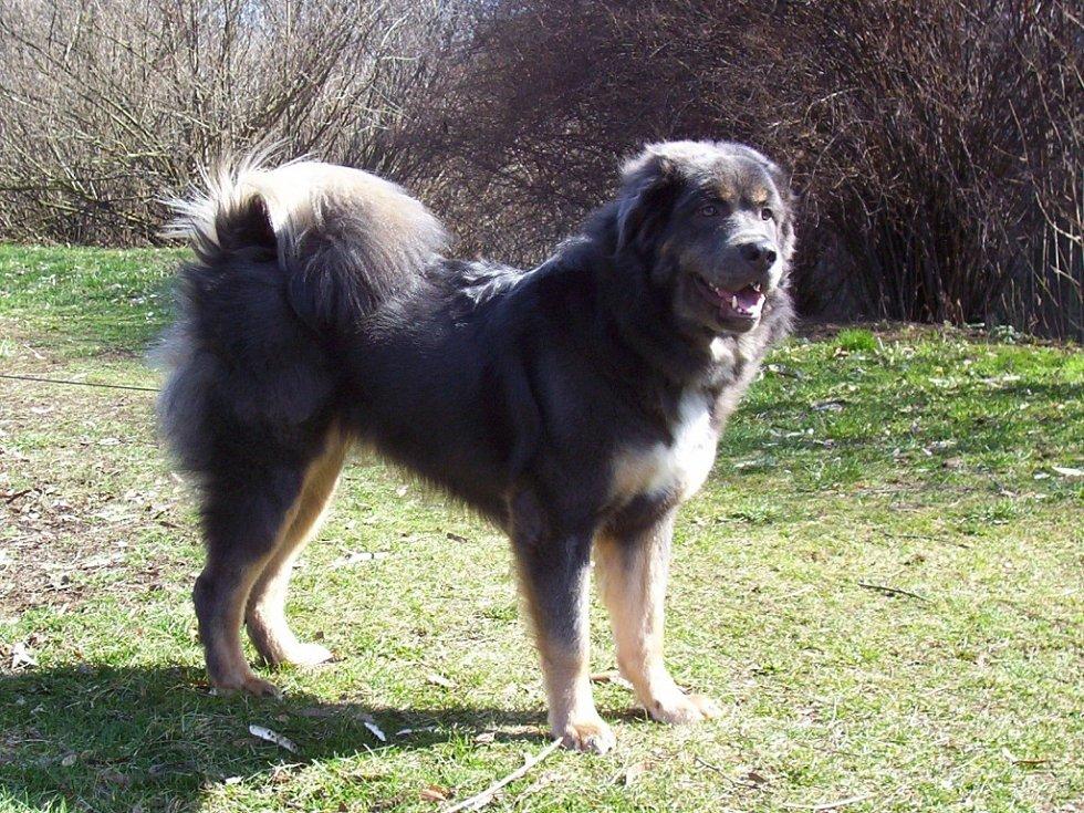 Fenka Tibetské dogy Amita
