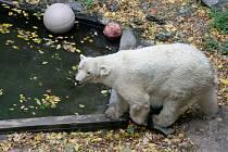 Lední medvědice Cora v brněnské ZOO.