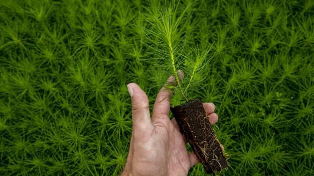 Sazenice borovice, lesní školka. Ilustrační foto.