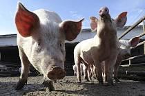 Stavy prasat na jihu Moravy se meziročně snížily, ilustrační foto