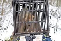 Medvědí samec Umca se vrátil do brněnské zoo.