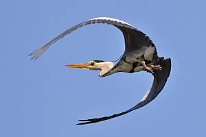 Mapování a fotografování ptáků může být velké dobrodružství. Na snímku volavka popelavá.