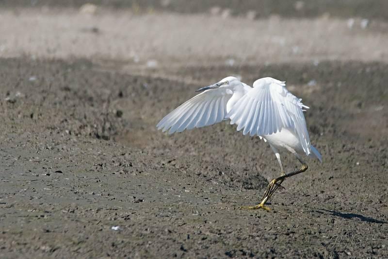 Zachycení ptáků v přírodě je pokaždé plné překvapení. Na snímku je volavka stříbřitá.