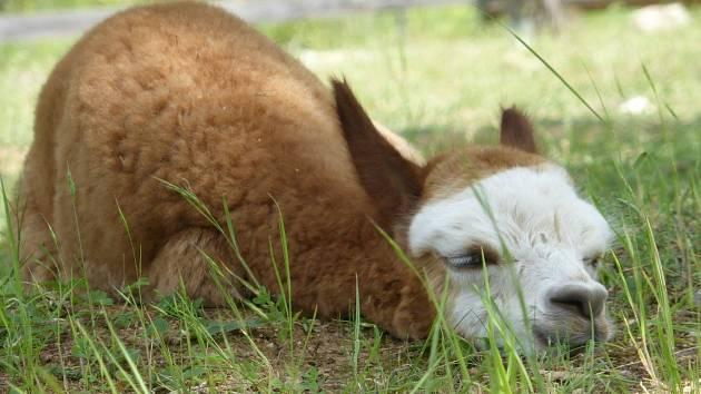 Malému lamímu samci s modrýma očima, který se narodil začátkem června v brněnském Lamacentru Hády, mohou nyní vybrat jméno lidé na webu centra.