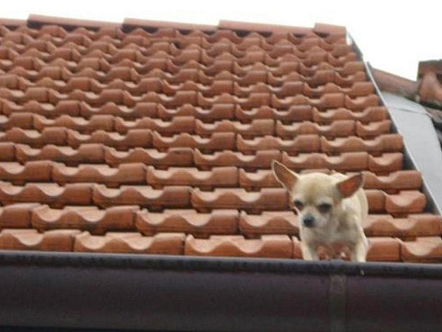 Čivavu, která vylezla na střechu do čtyřmetrové výšky a nemohla se dostat dolů, zachraňovali v pátek dopoledne brněnští strážníci.