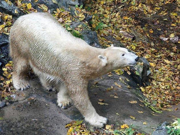 Případní potomci medvědice Cory by podle ředitele brněnské zoo Martina Hovorky měli zvýšit návštěvnost zahrady.