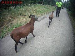 Dvě hnědé kozy se ve středu odpoledne procházely po lesní cestě v brněnských Soběšicích.