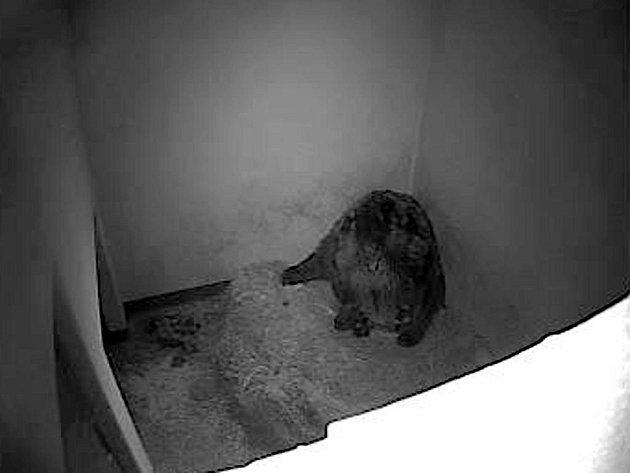 Dvě medvíďata, která se v brněnské zoo narodila kamčatské medvědici, poprvé prohlédla. Chovatelé to zjistili díky kamerovému systému umístěnému v porodním boxu.