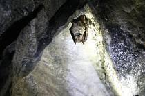 Velká rozmanitost a vysoký počet. V Jihomoravském kraji žije šestadvacet ze sedmadvaceti českých druhů netopýrů a vrápenců. Aby zoologové zjistili jejich přesný stav, na konci zimy se opět pustili do velkého sčítání v jeskyních.