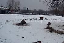 Oslovi v minizoo v brněnských Horních Heršpicích museli v úterý na pomoc přispěchat strážníci. Zvíře totiž propadlo tenkou vrstvou ledu a zůstalo stát po krk v ledové vodě.