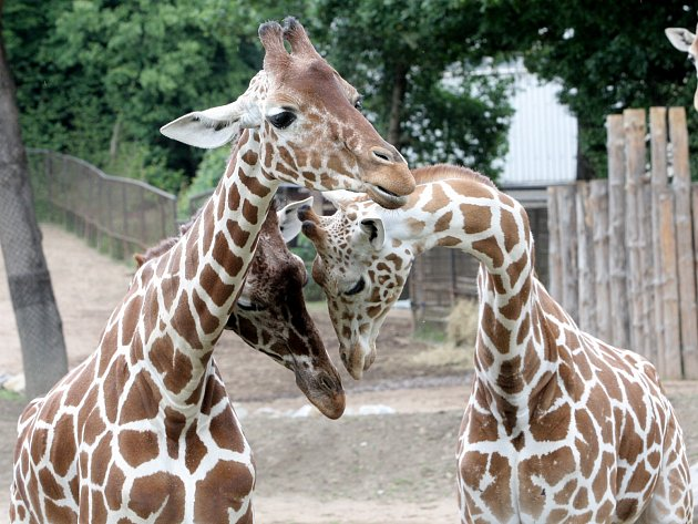 Žirafy v brněnské zoologické zahradě. Ilustrační foto.