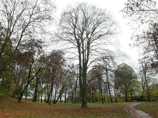 Brněnským stromem roku se stal přibližně dvousetletý buk červený v medláneckém zámeckém parku.