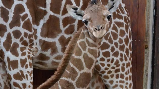 Žirafí mládě v brněnské zoo.