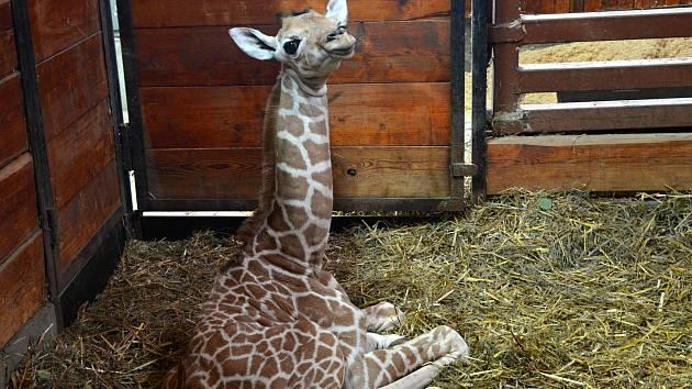 Nový přírůstek v brněnské zoo. Samička žirafy síťované.