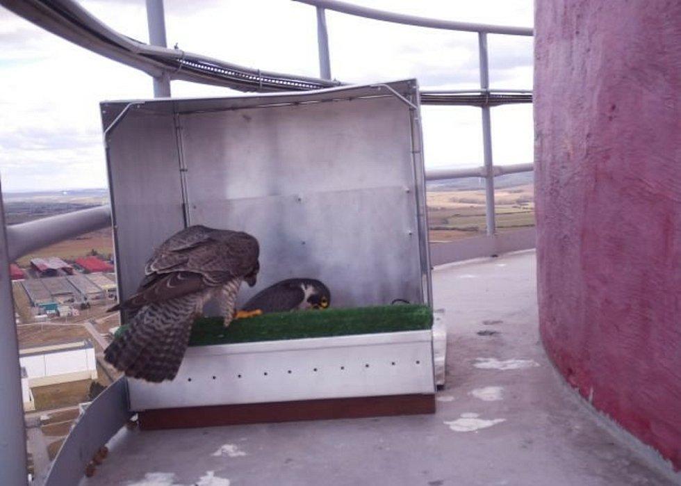 O hnízda soupeří sokol stěhovavý s rarohem velkým.