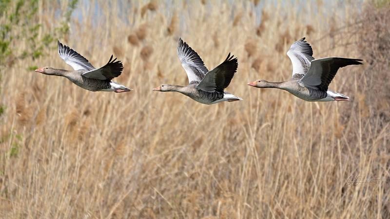 Zachycení ptáků v přírodě je pokaždé plné překvapení. Na snímku je husa velká.