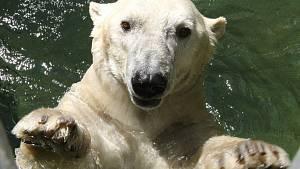 Samec ledního medvěda Umca v brněnské zoo