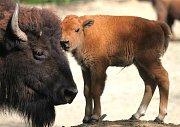 Celkem šest bizonů mohou lidé nově vidět ve výběhu bizonů v brněnské zoo. Minulý týden samice Inez porodila mládě. Chovatelé mu vybrali netradiční jméno Kotletka.