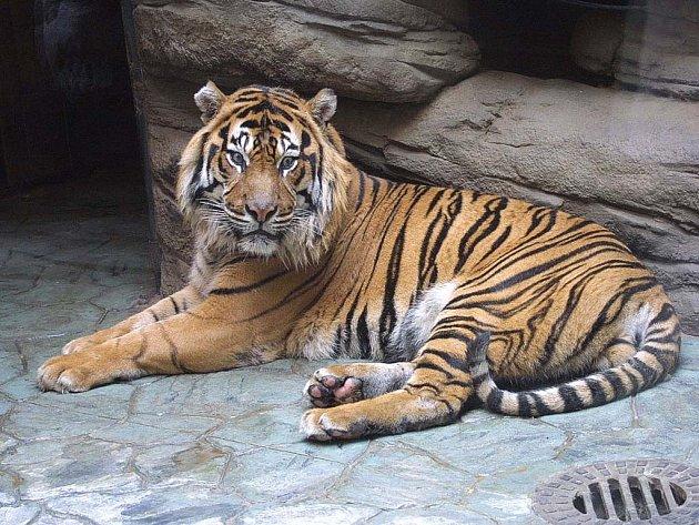 Tygr Dick v brněnské ZOO ještě v plné síle.