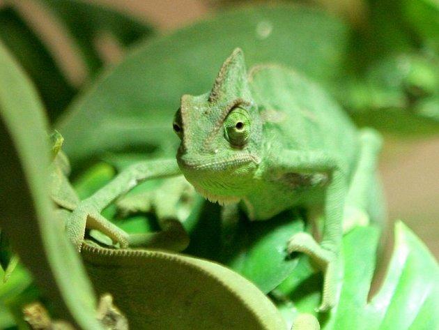 Chameleon obecný