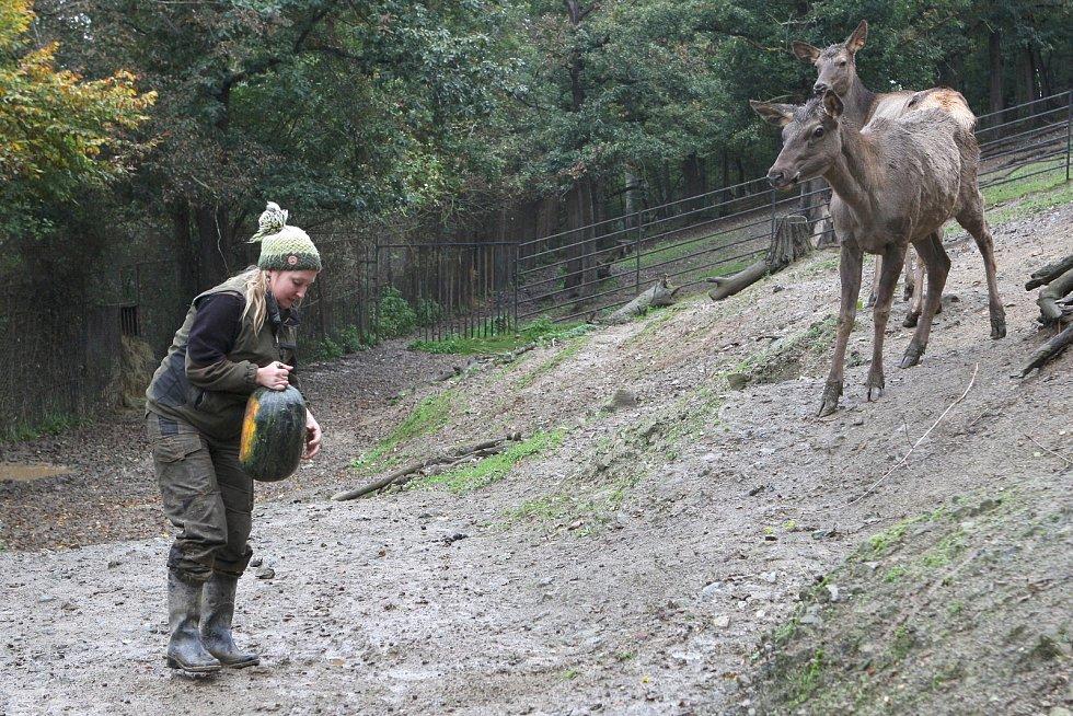 Brno 13.10.2020 - krmení wapitů sibiřských v ZOO Brno