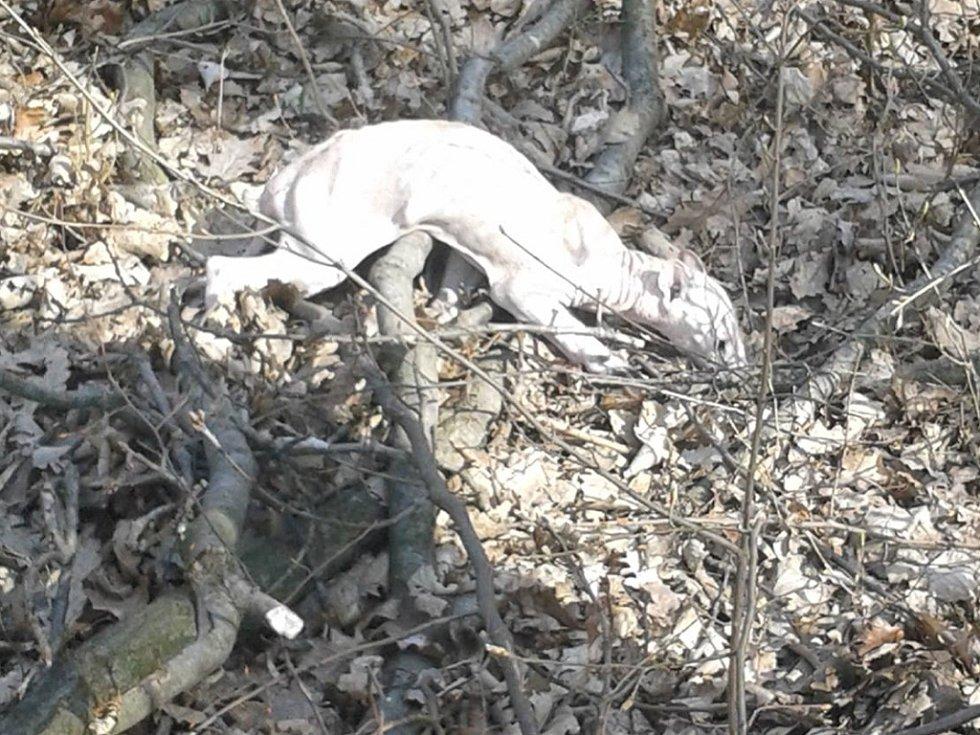 Bílé zvíře zřejmě nemá srst.